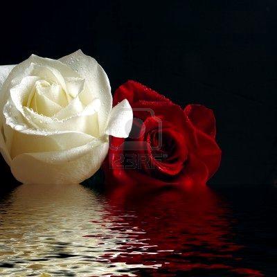 20110610041733-4572324-rosas-rojas-y-blancas-con-gota-de-agua-refleja-en-el-agua.jpg