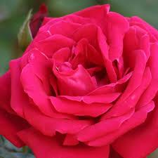 20130304154521-rosa-roja.png