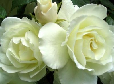 20090403125959-rosas-blancas-1-.jpg